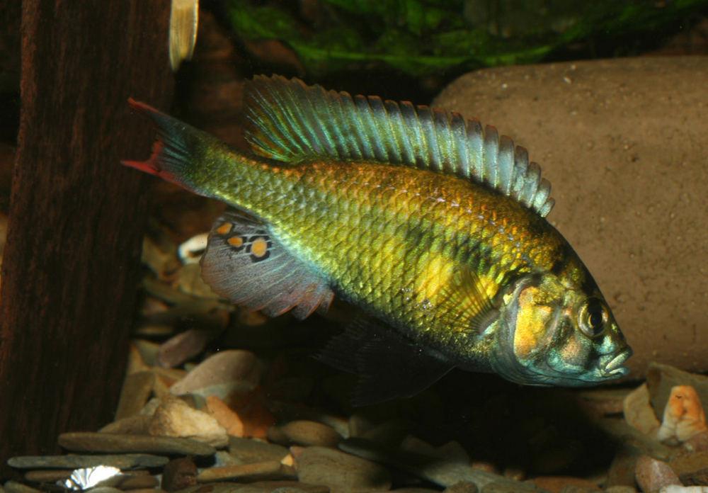 Haplochromis erythromaculatus