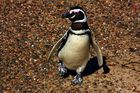 Happy Feet - the Magellanic Penguin