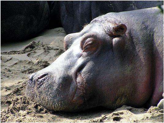 Happy Hippo :-)