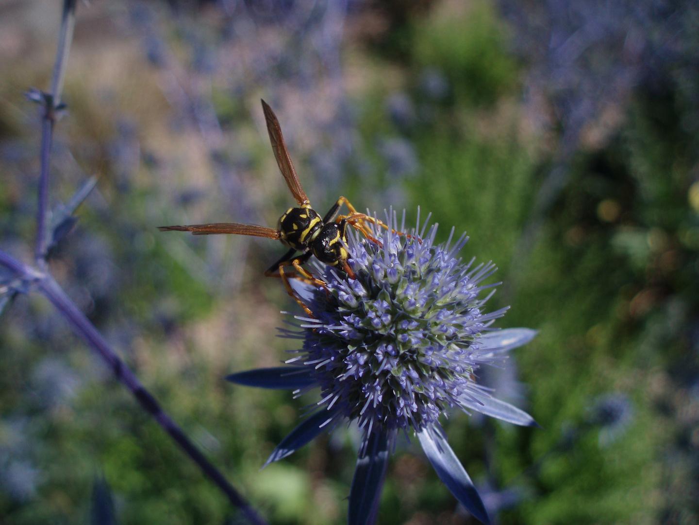 Happy schlürf - Biene saugt in einer lila Blüte