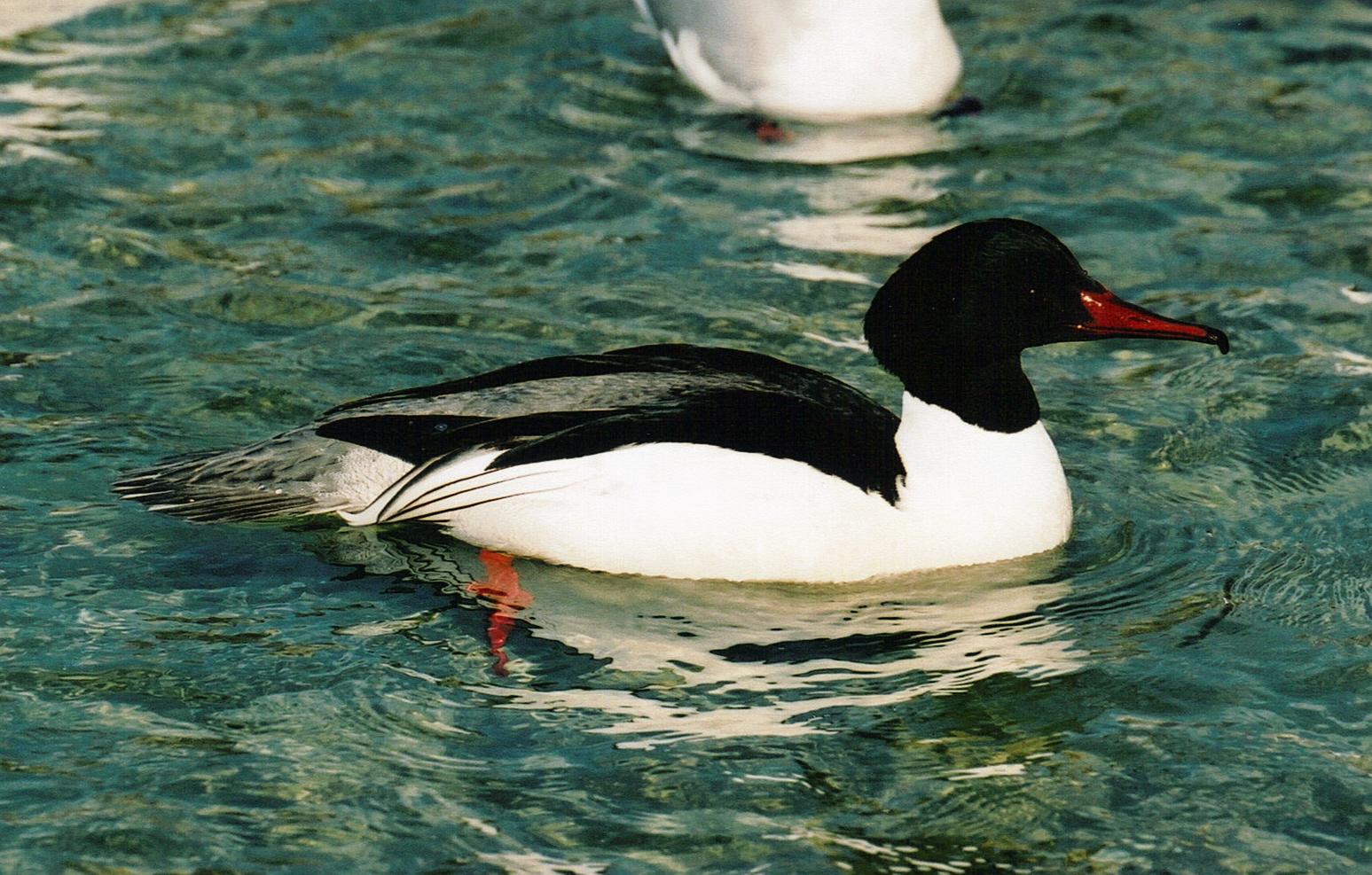 harle bièvre mâle, lac d'annecy