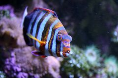 Harlekin Lippfisch
