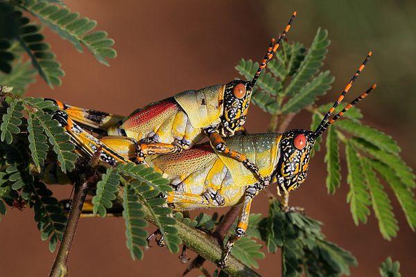 Harlekinschrecken