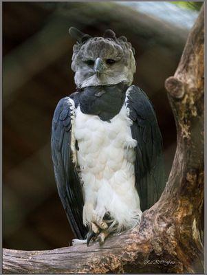 Harpyie (durch dem zaun fotografiert)