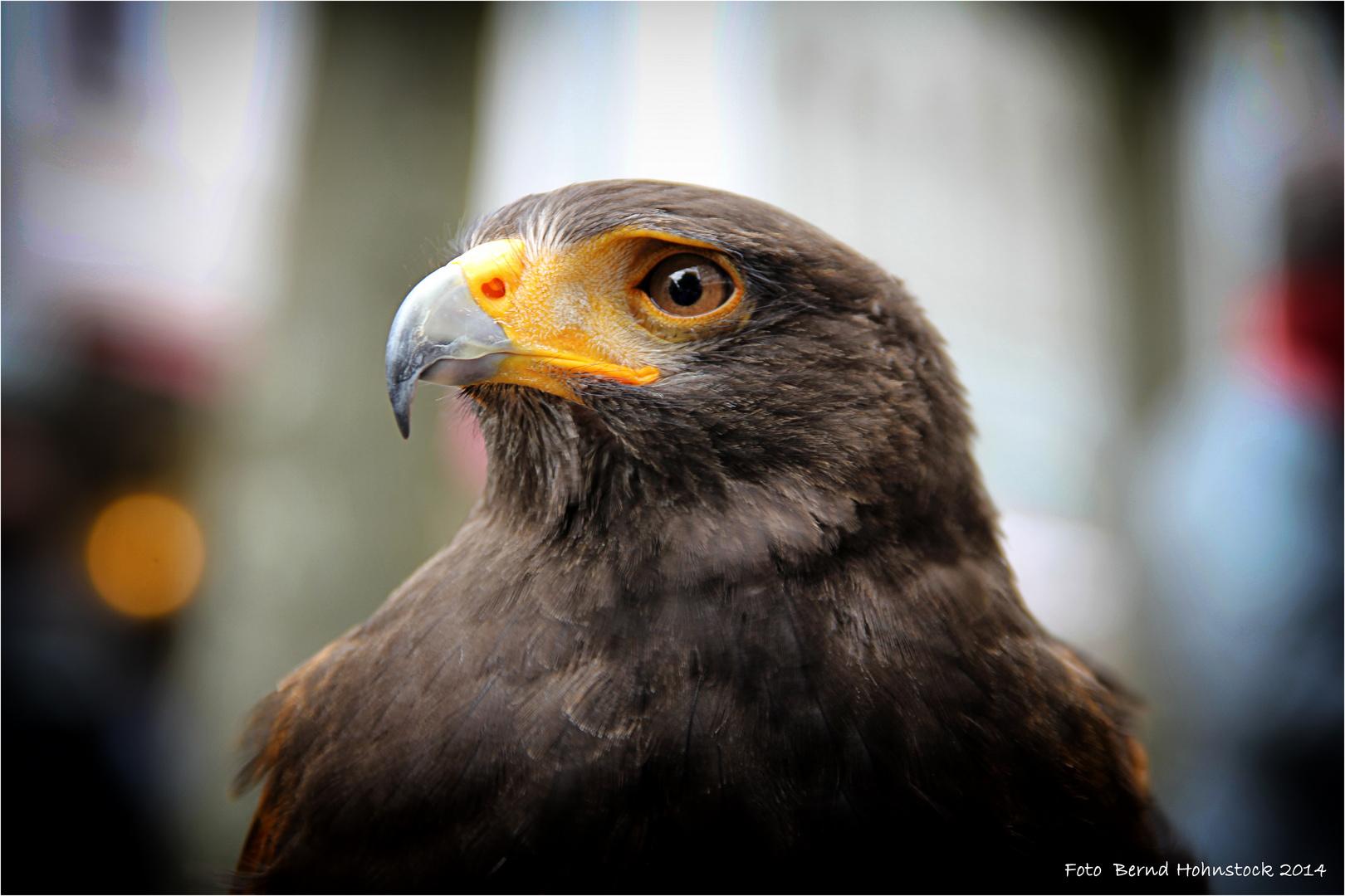 Harris Hawk ....