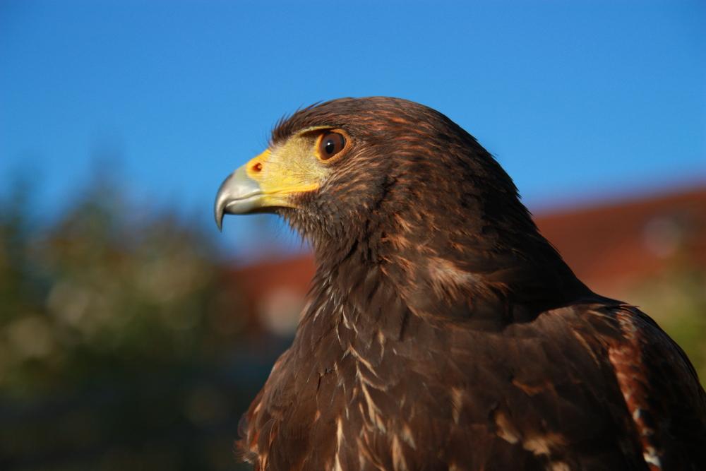 Harris-Hawk