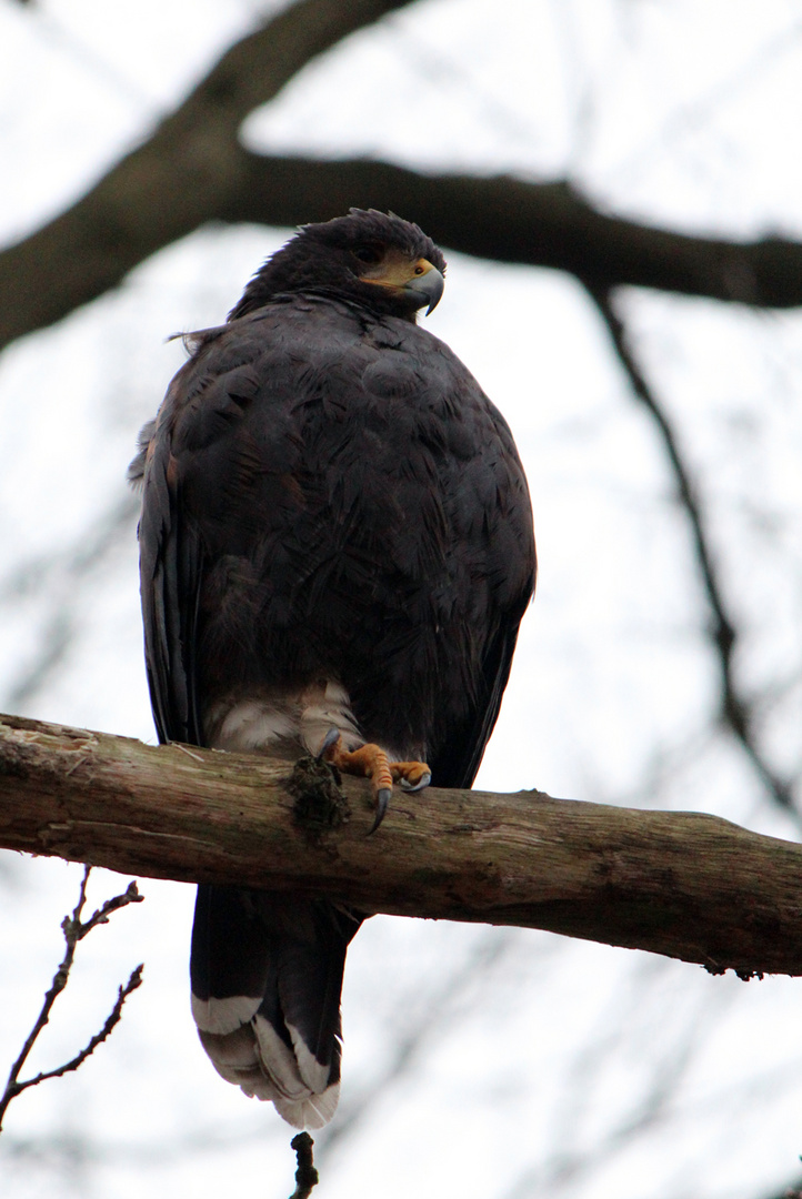Harris Hawk at large