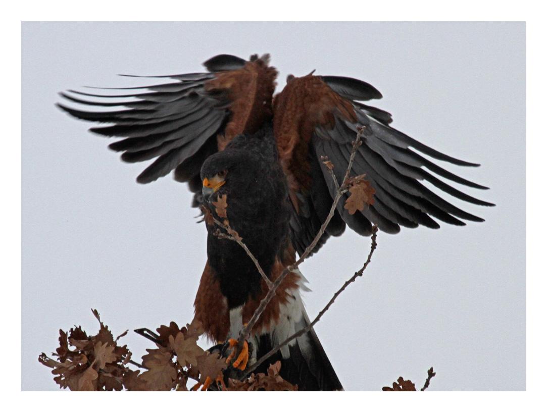 "Harris-Hawk auf Jagd - ""bereit"" -"