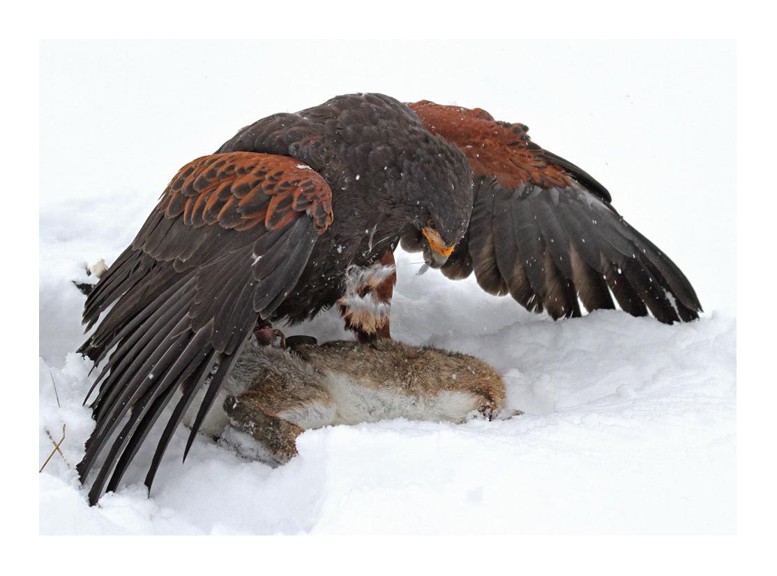 Harris-Hawk auf Jagd - Beute erlegt