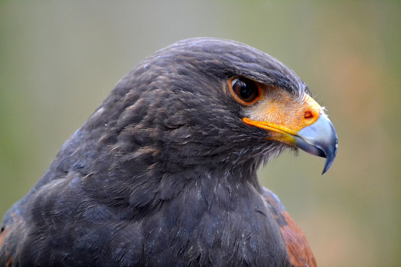 """Harris Hawk """"Merlin"""""""