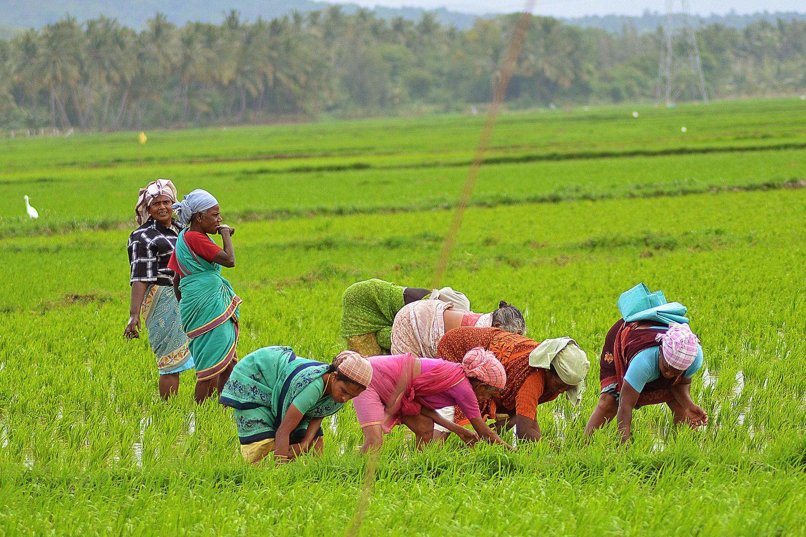 Harte Arbeit in südindischen Reisfeldern...