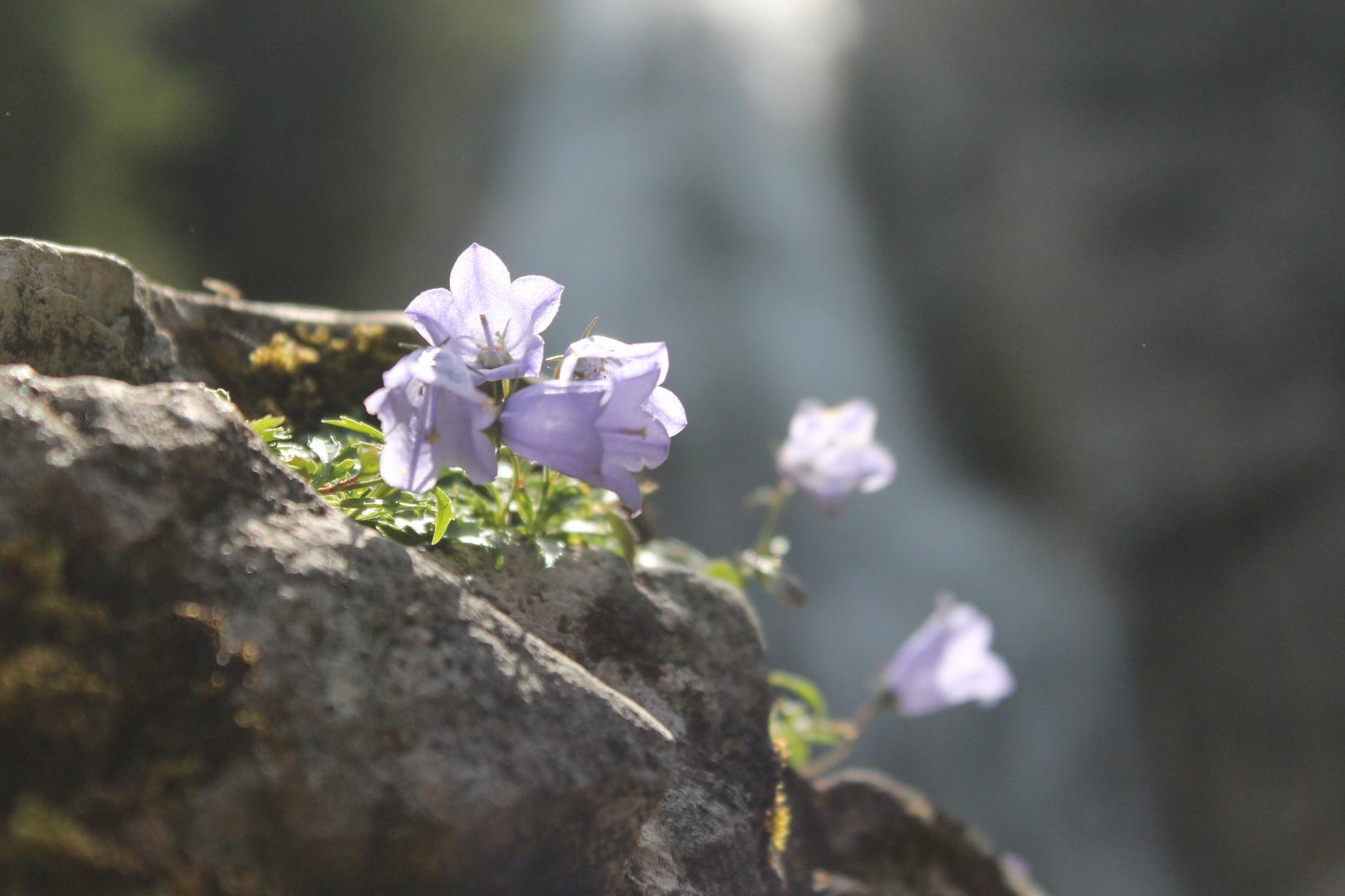 Harter Stein und zarte Blüte
