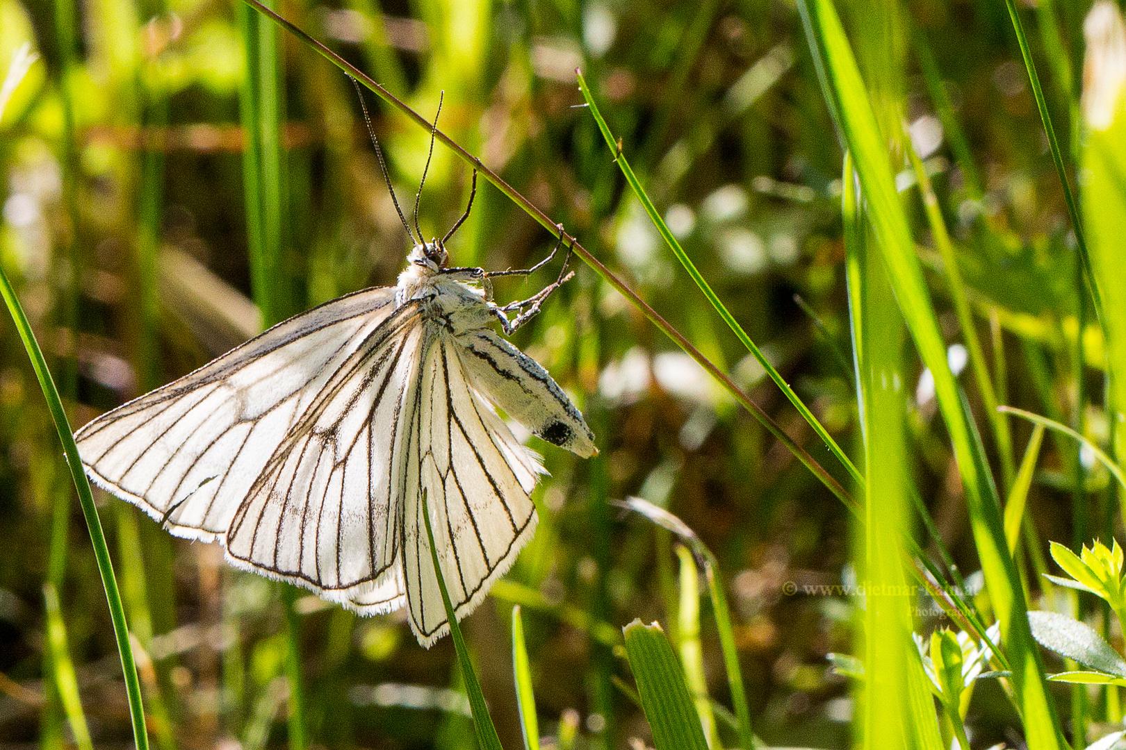Hartheu-Spanner (Siona lineata) ist ein Schmetterling (Nachtfalter) aus der Familie der Spanner 0614
