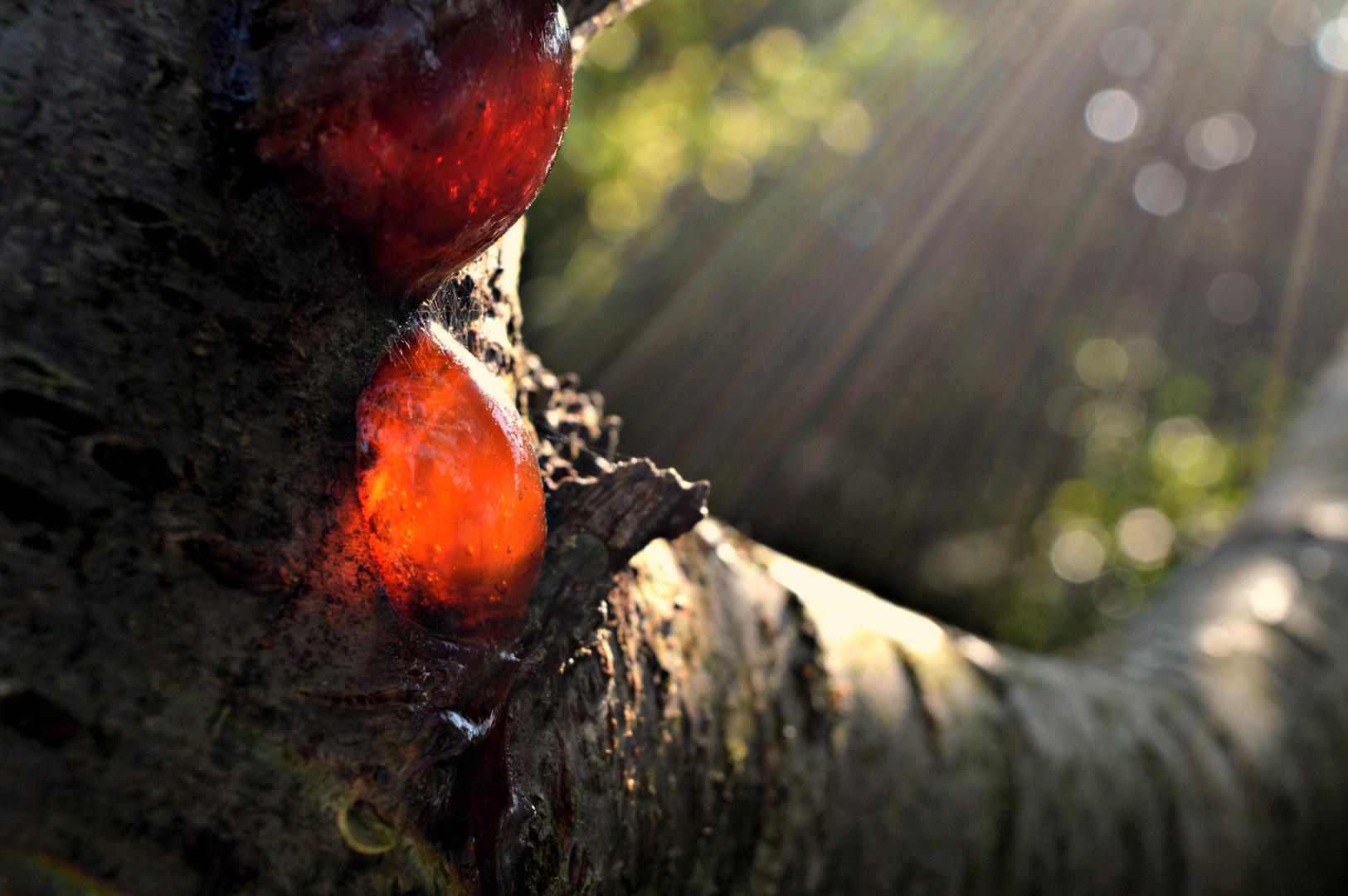 Harz am Baum