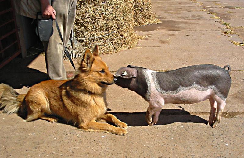 """Harzer Fuchs hat """"Schwein"""" gehabt!"""