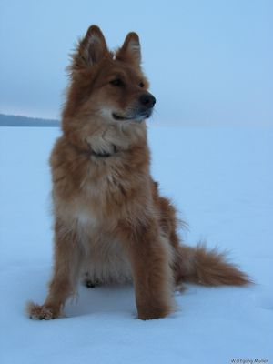 Harzer Fuchs im Schnee