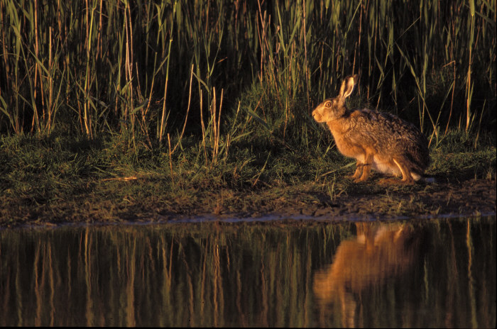 Hase am Abend