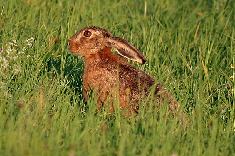Hase am Abend...