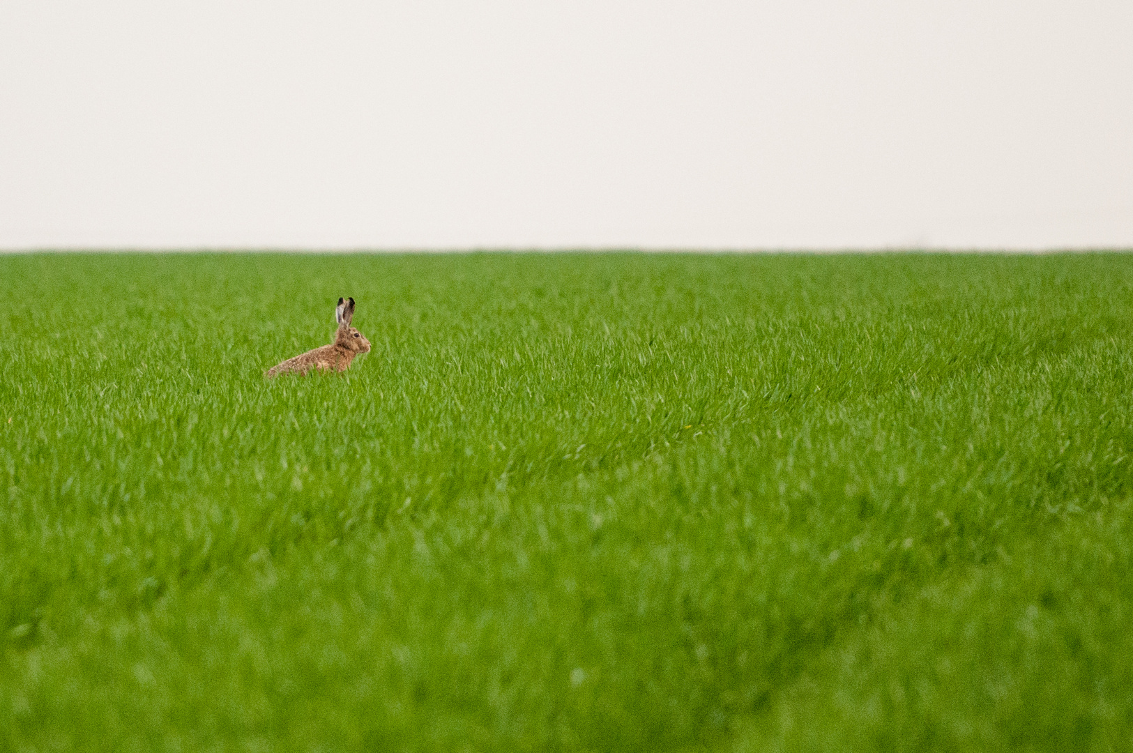 Hase im Gras