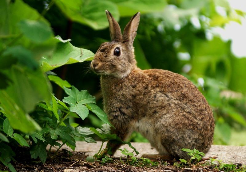 Hase, Kaninchen