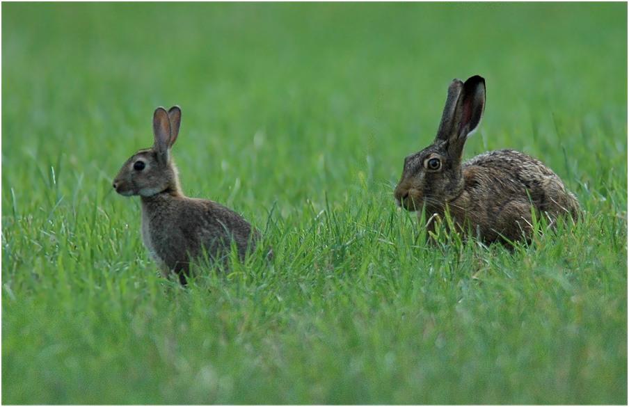 hase und kaninchen foto bild tiere wildlife s ugetiere bilder auf fotocommunity. Black Bedroom Furniture Sets. Home Design Ideas