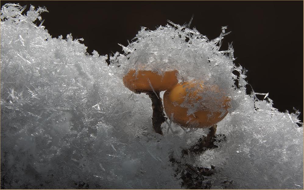 Hasel-Stromabecherling im Schnee