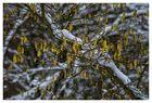 Haselblüte am 09.02.2013 im Westerwald