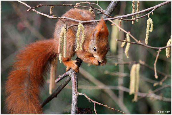 Haselhörnchen
