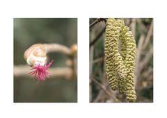 Haselnuß Blüte