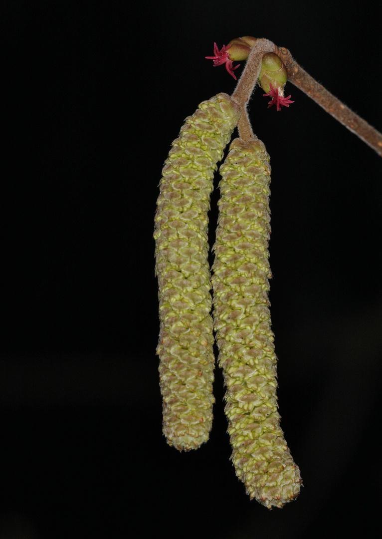 Haselnuss männliche + weibliche Blüten