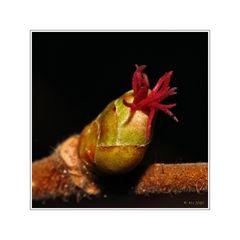 Haselnuss - weibliche Blüte