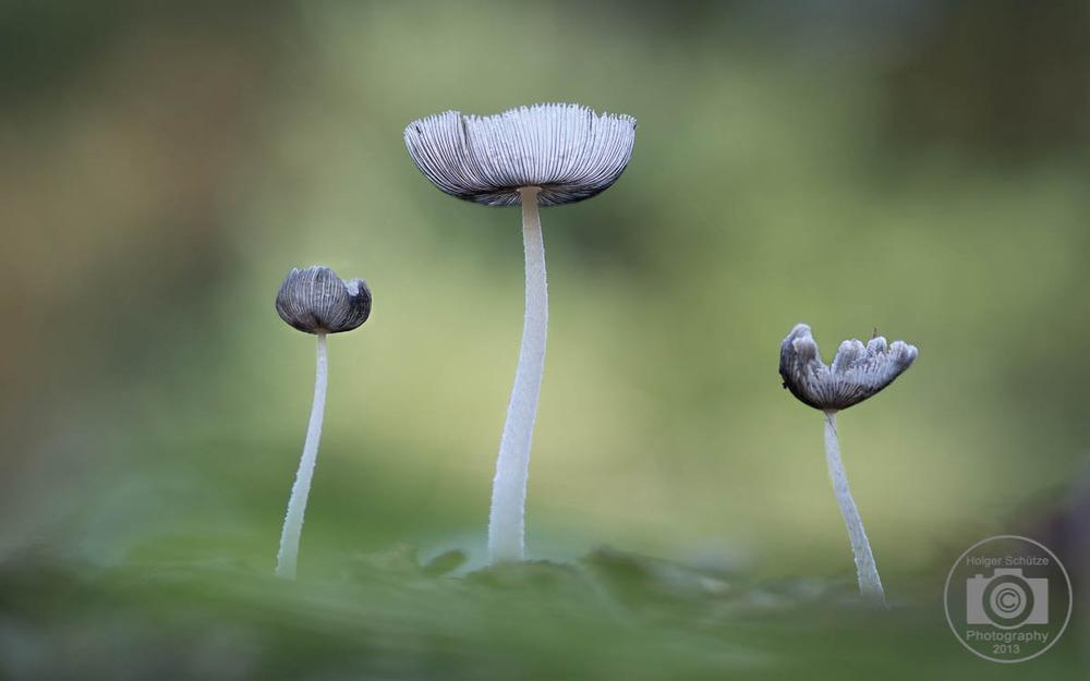 hasenpfote oder hasentintling foto bild pflanzen pilze flechten sachen natur bilder auf. Black Bedroom Furniture Sets. Home Design Ideas