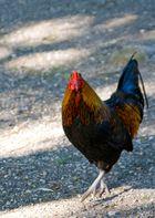 Hast Du meine Hühner gesehen???