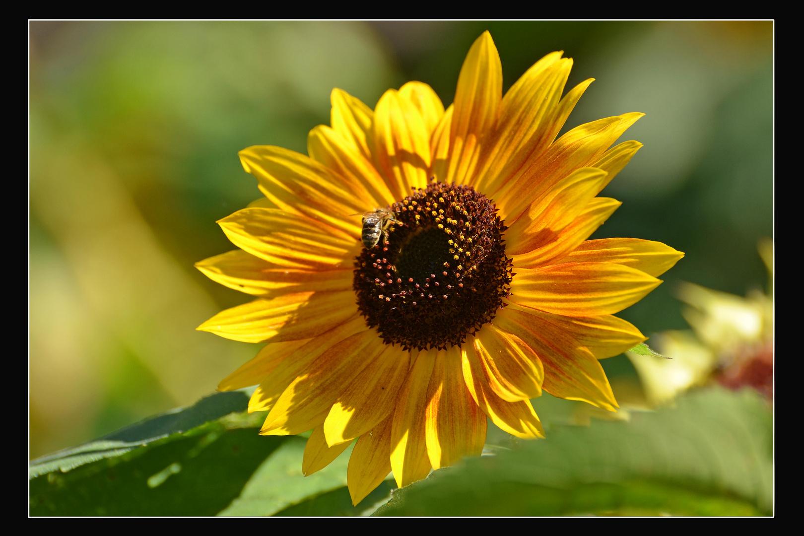 Hat den Namen zurecht, die Sonnenblume