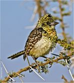Hauben-Bartvogel (Trachyphonus vaillantii)....