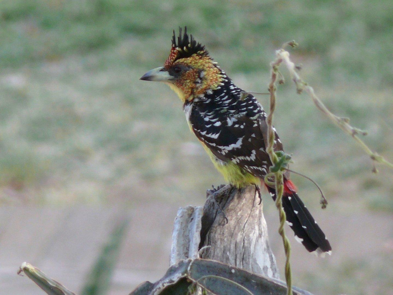 Haubenbartvogel im Krüger