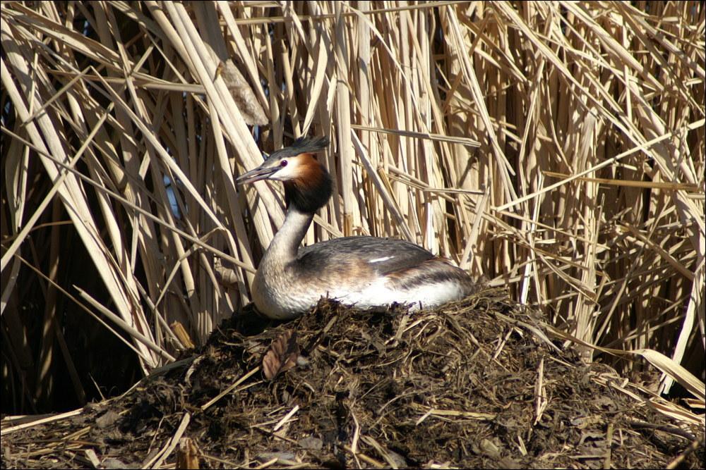 Haubentaucher auf dem Nest