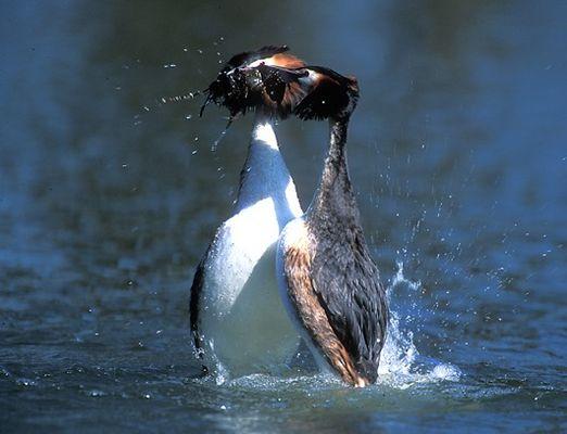 Haubentaucher beim Pinguintanz