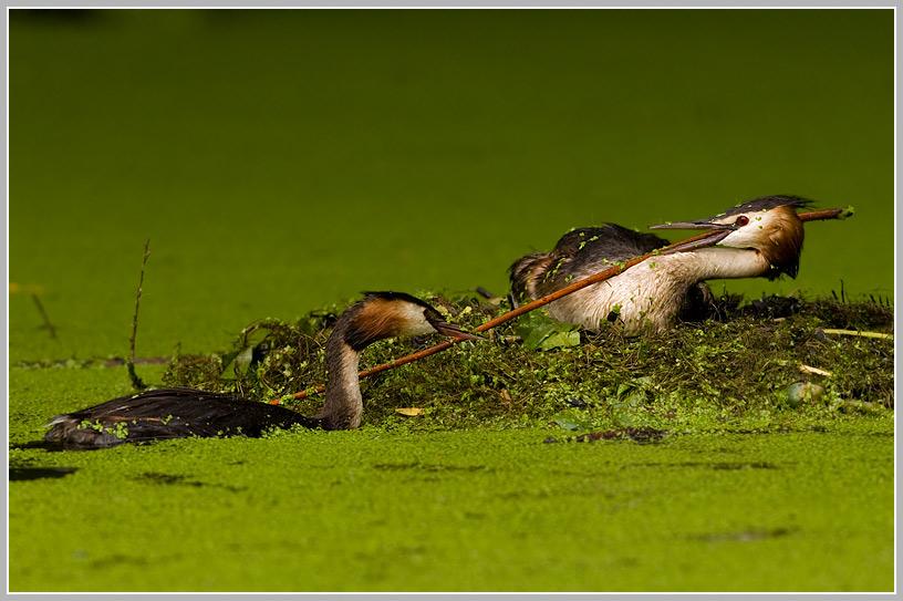 Haubentaucher (Podiceps cristatus) 3