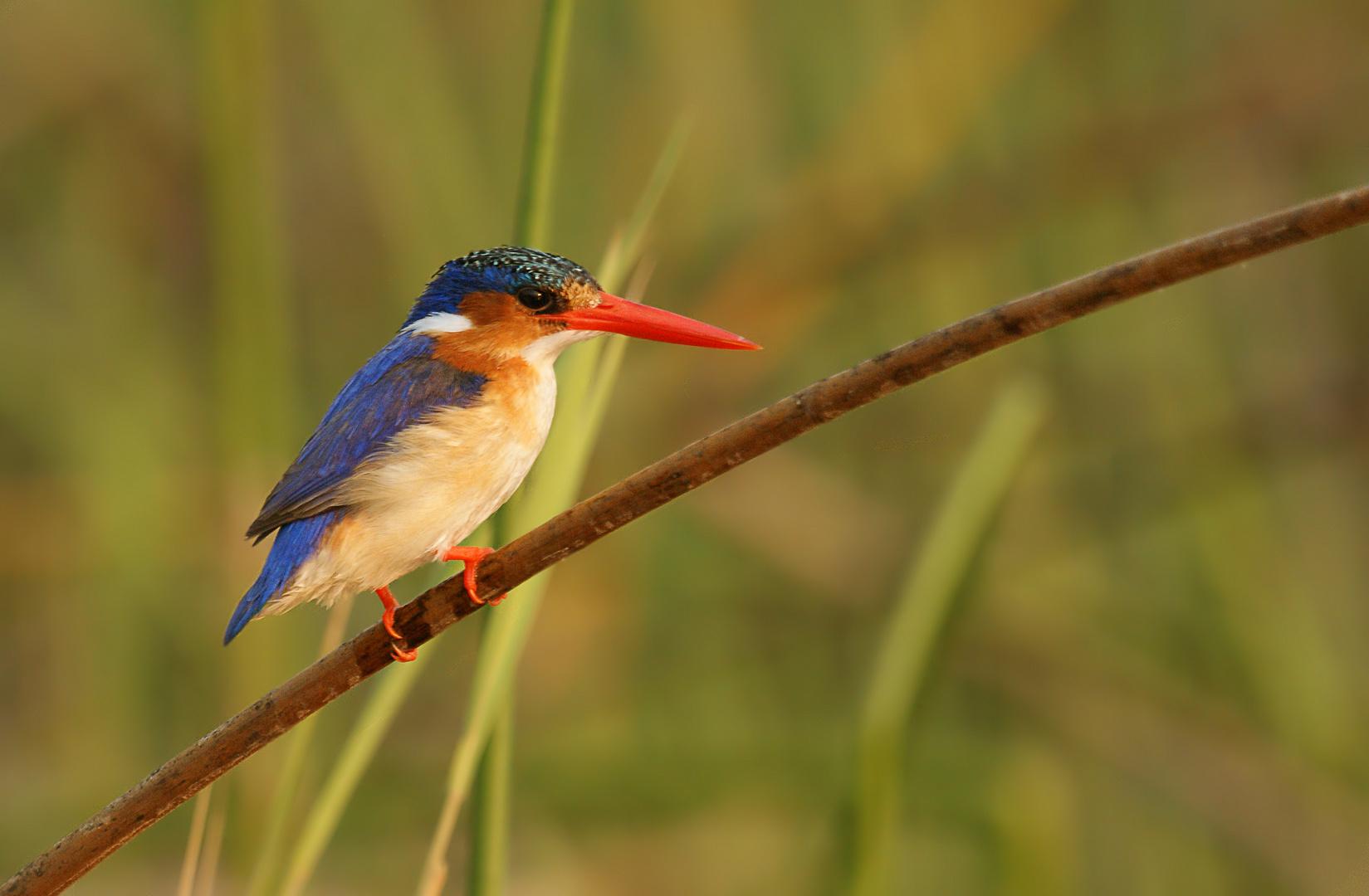 Haubenzwergfischer  (engl. Malachit Kingfisher)
