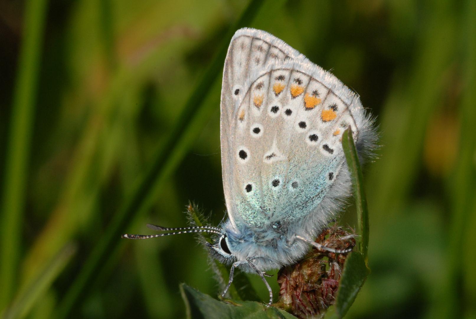 ,, Hauhechel - Bläuling ( Polyommatus icarus ) 3 ,,