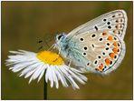 Hauhechel-Bläuling - Polyommatus icarus -