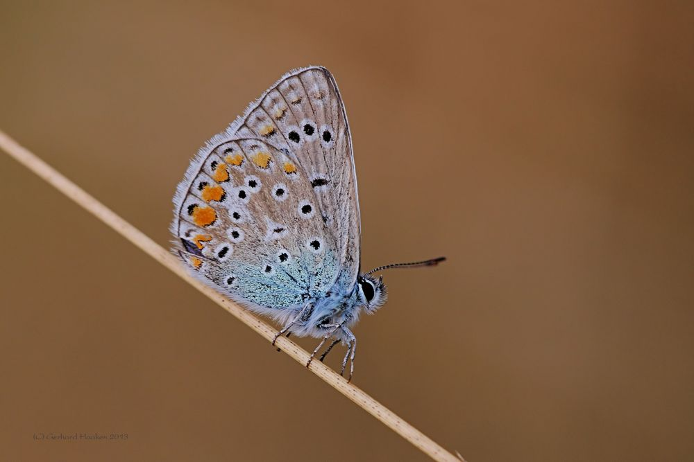Hauhechel-Bläuling (Polyommatus icarus)_