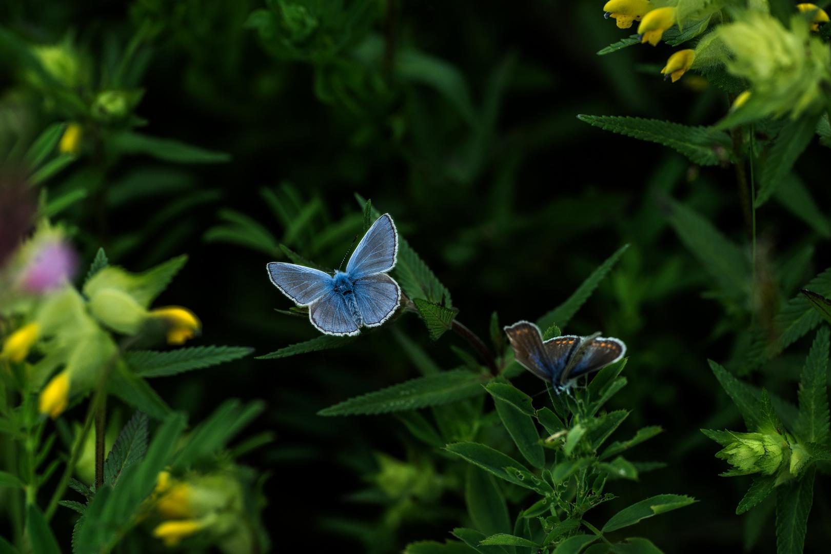 Hauhechel-Bläuling Weibchen und Männchen