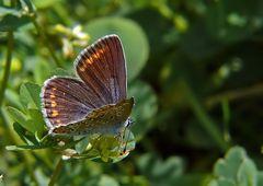 Hauhechel-Bläulings-Dame ((Polyommatus icarus))
