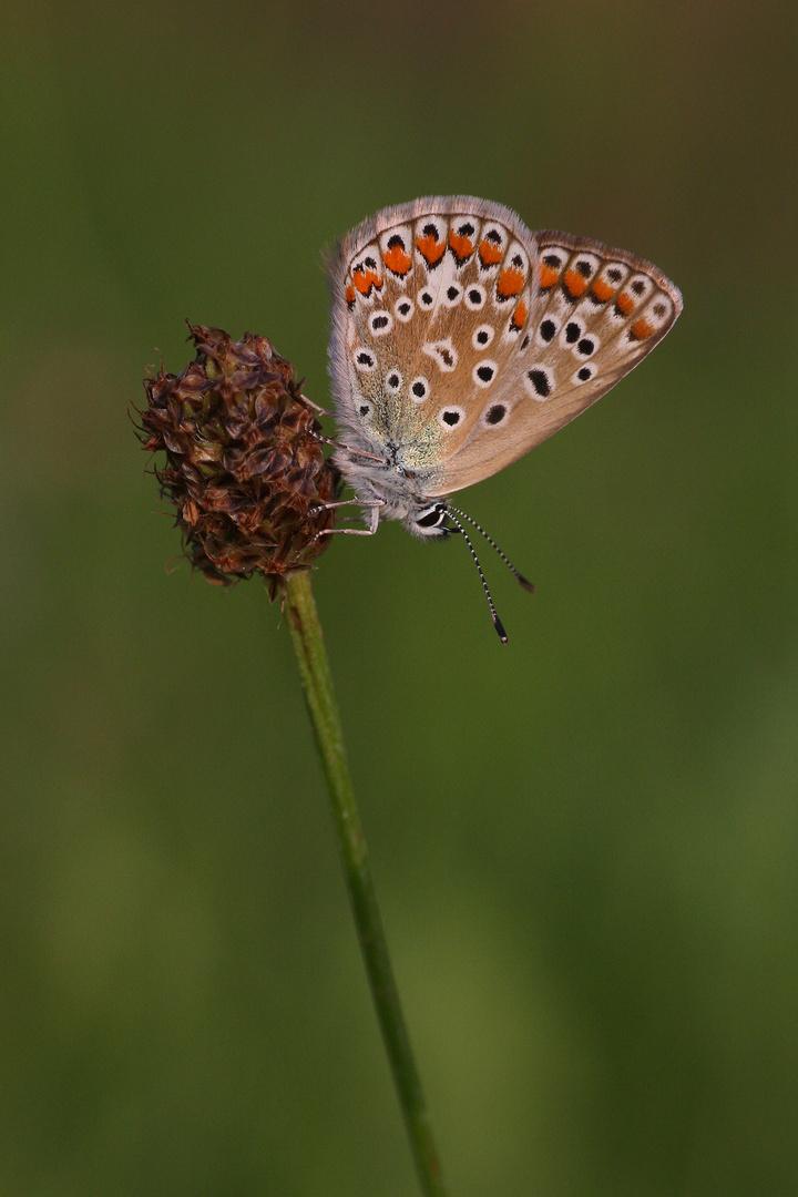 Hauhechelbläuling oder Common Blue (Polyommatus icarus)