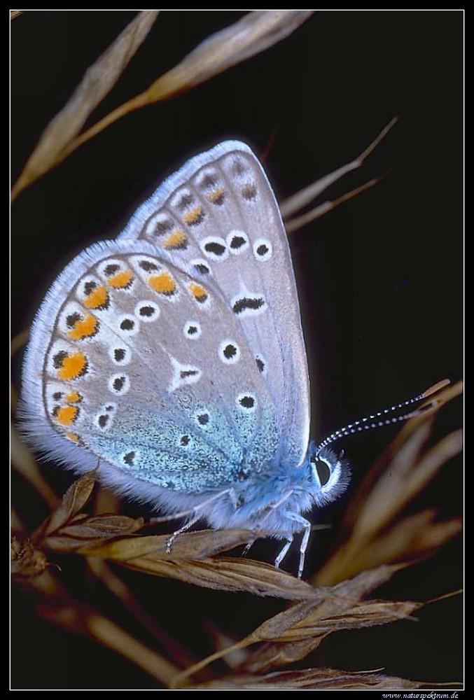 Hauhechelbläuling (Polyommatus icarus) Kein --> Geißkleebläuling (Plebejus argus)