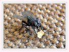Haus-Fliege