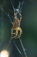 Haus-Spinne - 5