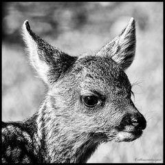 (Haus) Tiere #3 | Reh - Kitz